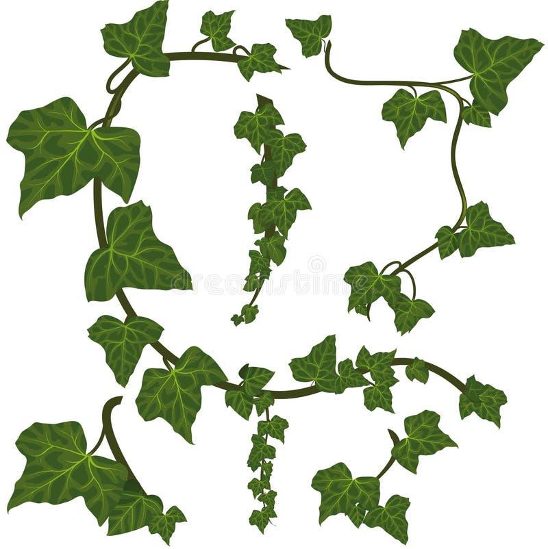 Elementi verdi dell'edera illustrazione vettoriale