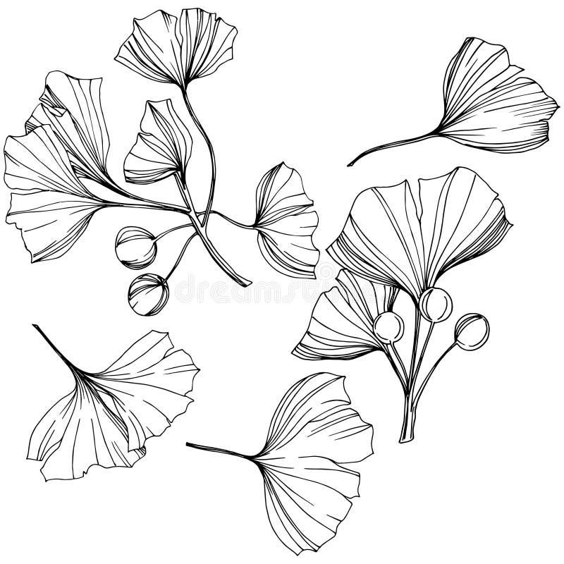 Elemento aislado vector del ejemplo del ginkgo Follaje del jardín botánico de la planta de la hoja Arte grabado blanco y negro de libre illustration