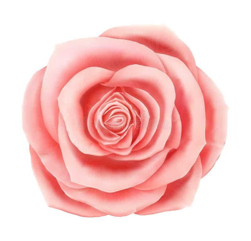 Elemento decorativo floral de la rosa hermosa del rosa del vector ilustración del vector