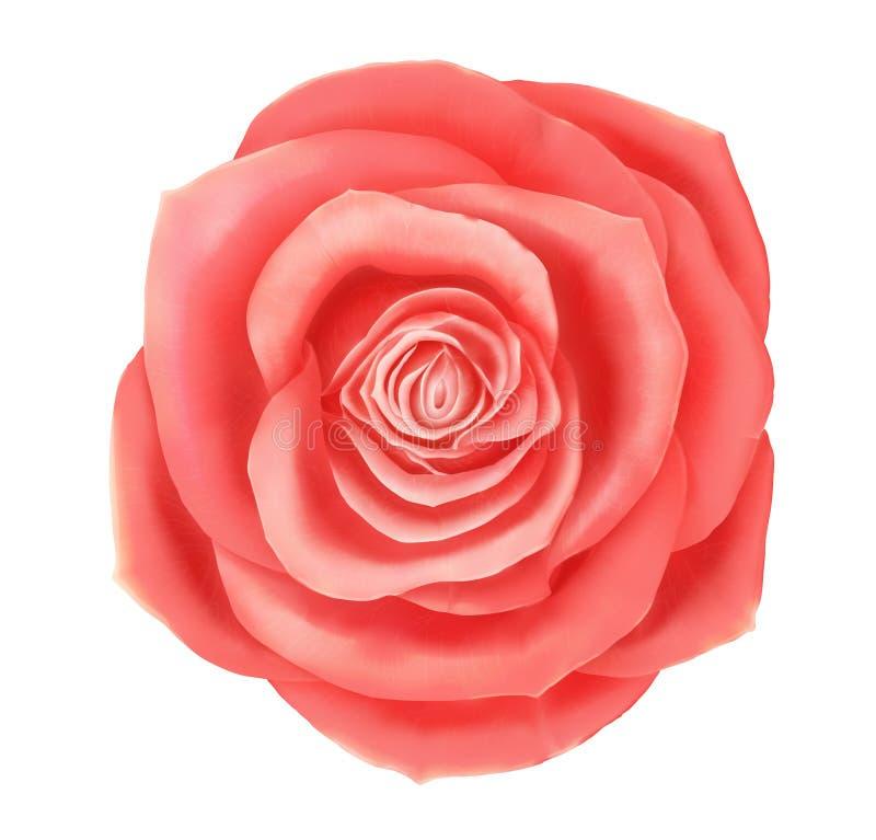 Elemento decorativo floral de la rosa hermosa del rosa del vector libre illustration