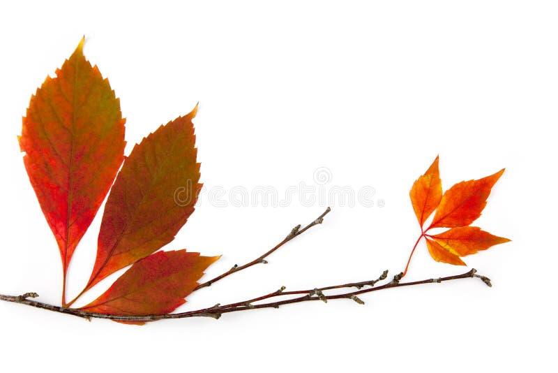Elemento do frame do outono/folhas reais bonitas imagem de stock royalty free