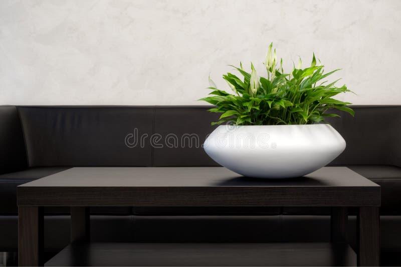 Elemento interior de la oficina: Pote blanco del Houseplant del verde de Spathiphyllum en la tabla marrón oscura cerca de un sofá imágenes de archivo libres de regalías