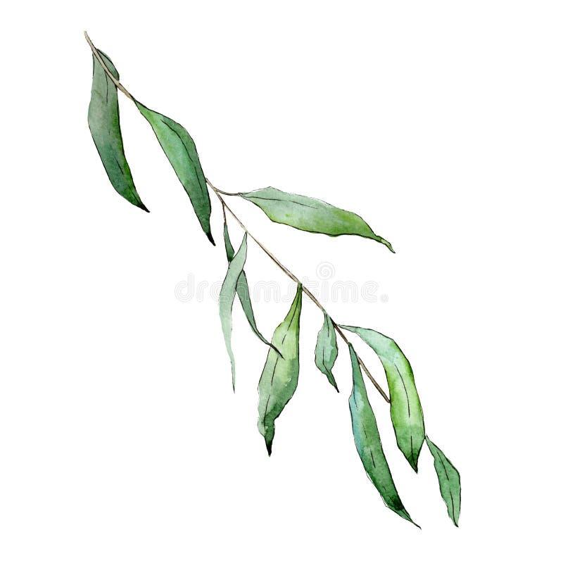 Elemento isolado da ilustração dos ramos do salgueiro Grupo da ilustração do fundo da aquarela folha verde ilustração stock