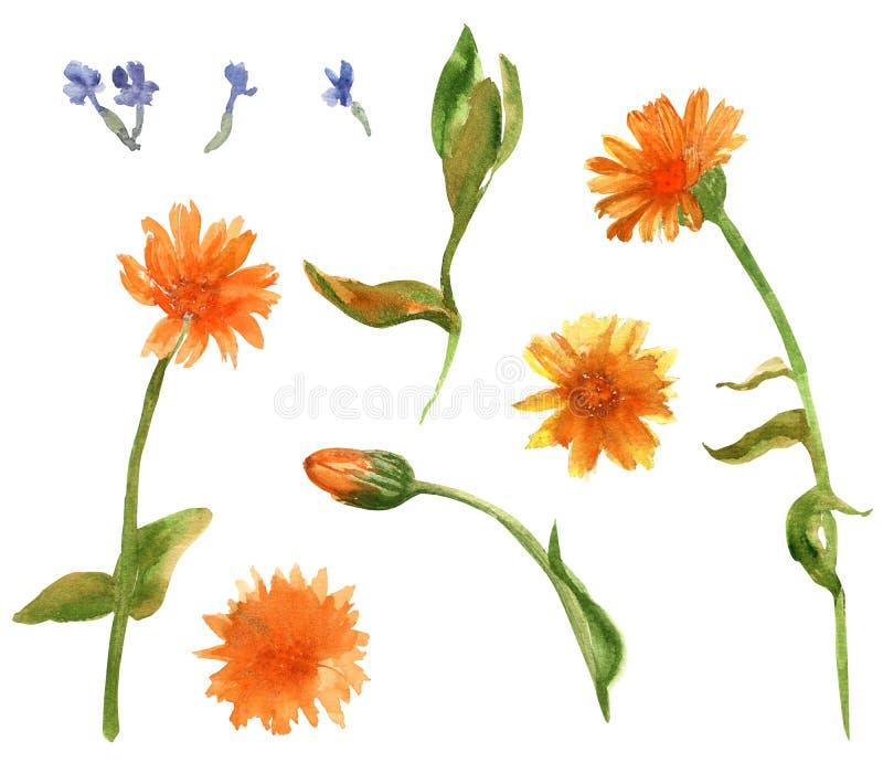 Elementos ajustados tirados mão da aquarela de officinalis do calenula e de flores pequenas da alfazema Projeto para cartões, mat ilustração royalty free