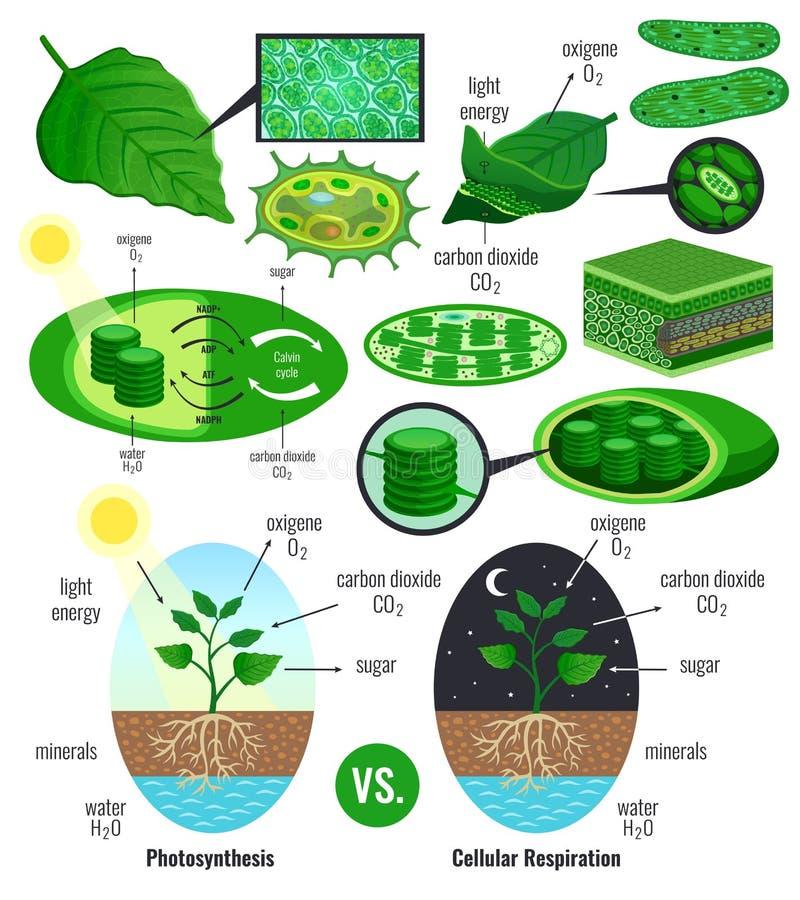 Elementos biológicos de Infographic da fotossíntese ilustração do vetor