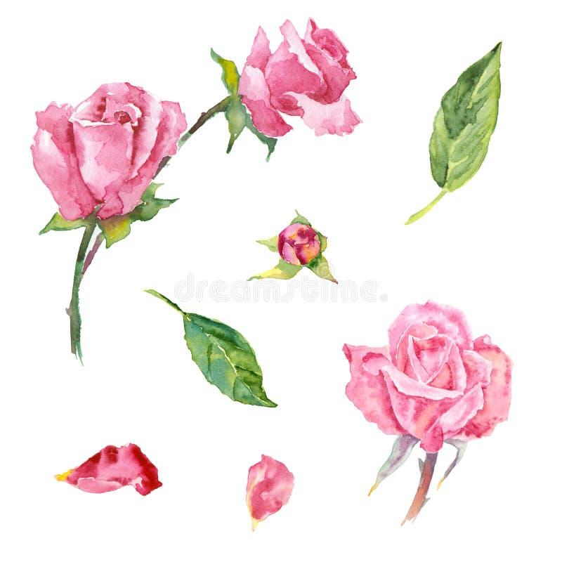 Elementos color de rosa de la acuarela ilustración del vector