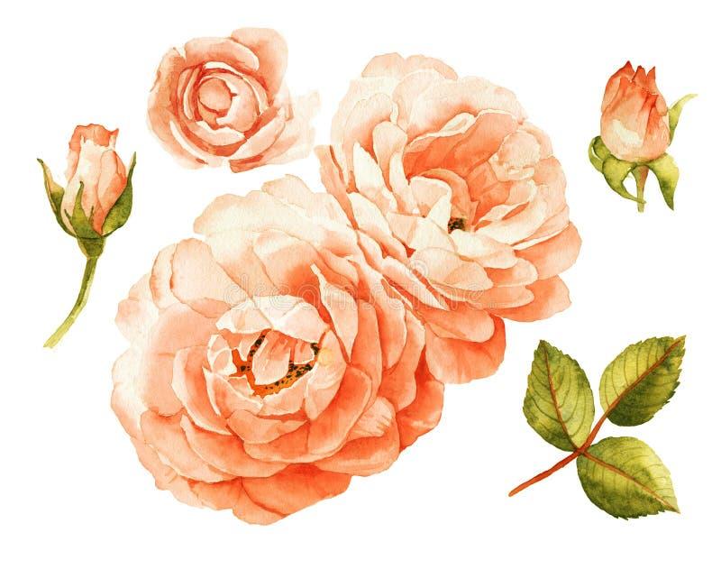 elementos da aquarela das rosas do Cor-de-rosa-pêssego ilustração do vetor
