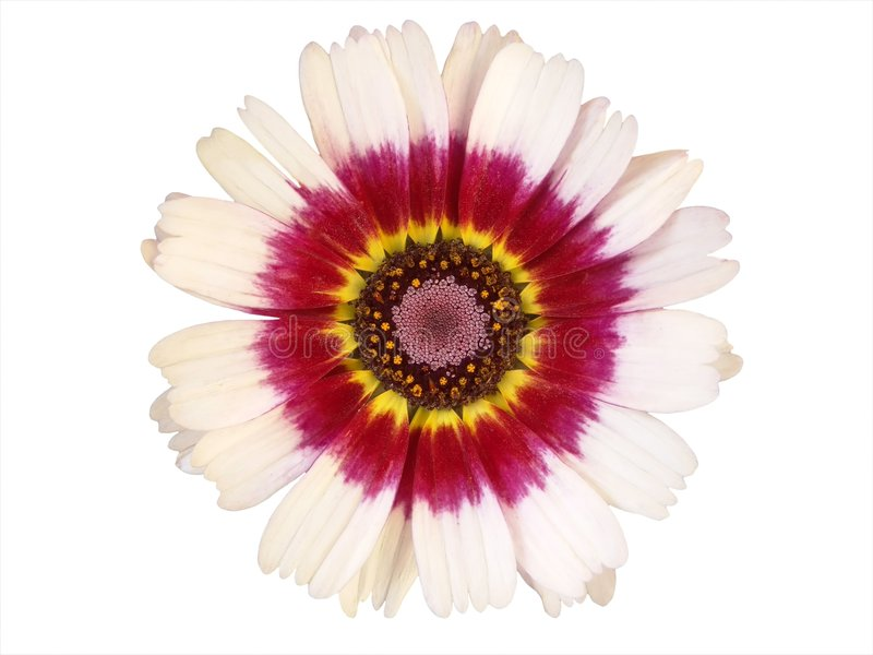 Elementos Do Projeto: Cabeça De Flor Colorida Fotografia de Stock Royalty Free