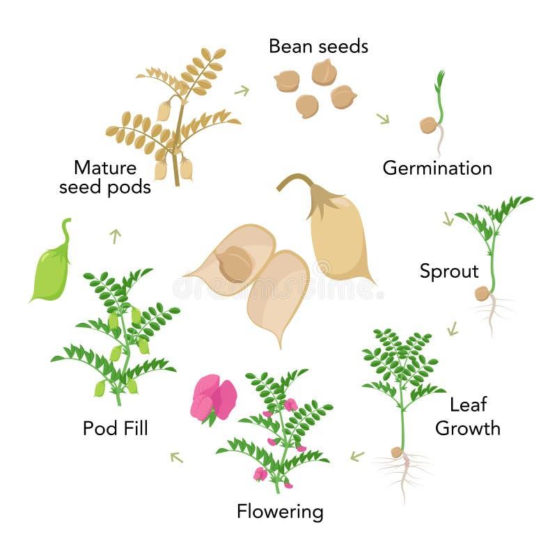 Elementos infographic das fases do crescimento vegetal do grão-de-bico no projeto liso Processo de plantação do grama das semente ilustração royalty free