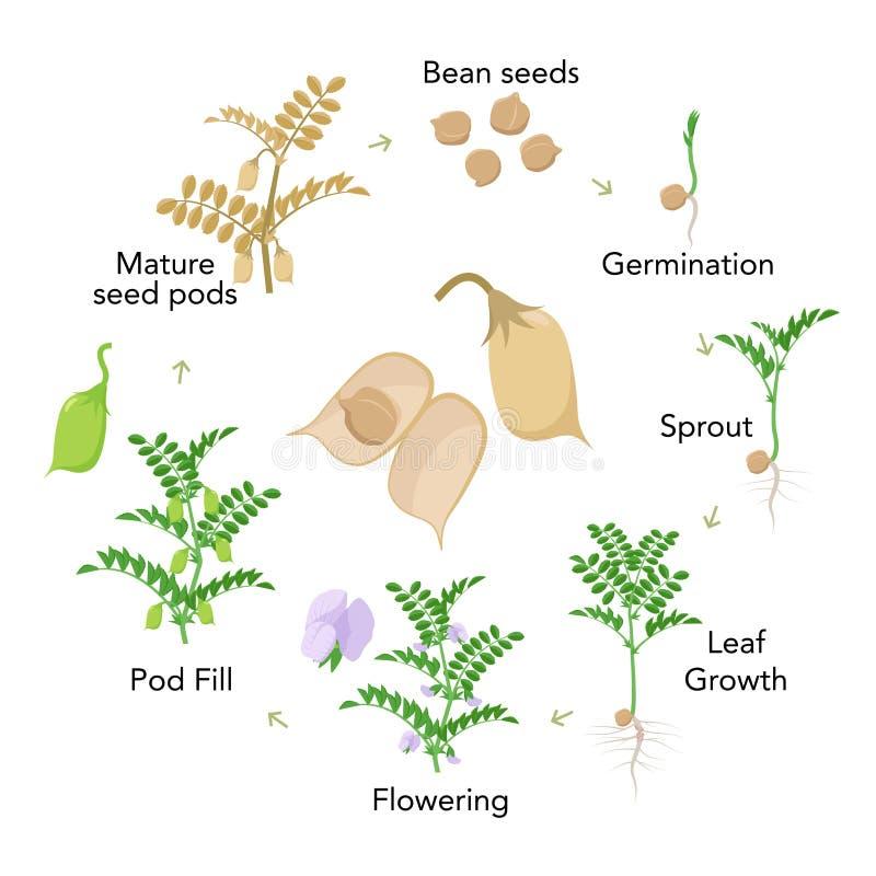 Elementos infographic das fases do crescimento vegetal do grão-de-bico no projeto liso Processo de plantação do grama das semente ilustração do vetor