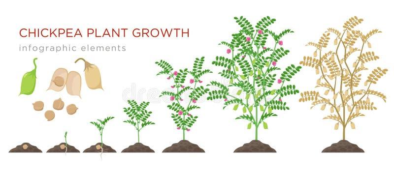 Elementos infographic das fases do crescimento vegetal do grão-de-bico Processo crescente de grãos-de-bico das sementes, broto à  ilustração do vetor