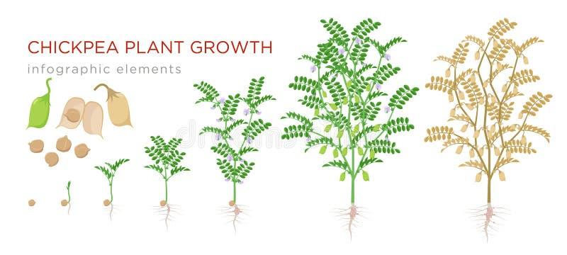 Elementos infographic das fases do crescimento vegetal do grão-de-bico Processo crescente de grãos-de-bico das sementes, broto ao ilustração royalty free