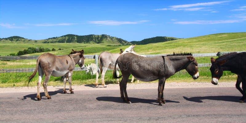 Elemosinando i Burros - sosta di condizione di Custer fotografie stock libere da diritti