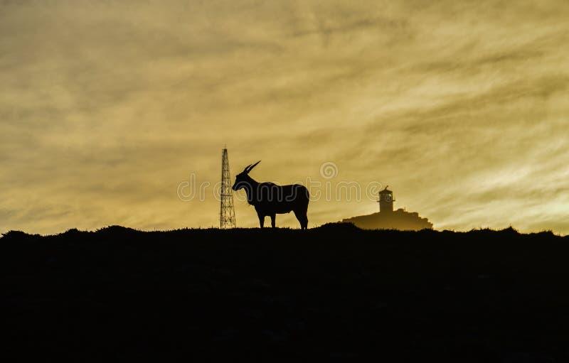 Elenantilope bei Sonnenaufgang stockfotos