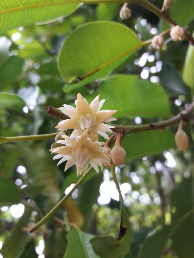 Elengi de Mimusops, fleur blanche avec le parfum doux images stock