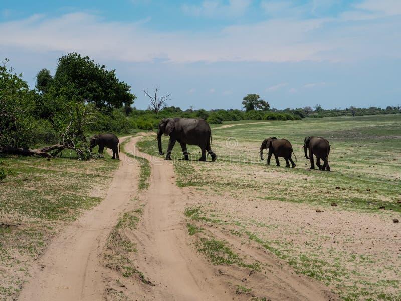 Elepantfamilie die aan het bos lopen stock afbeeldingen