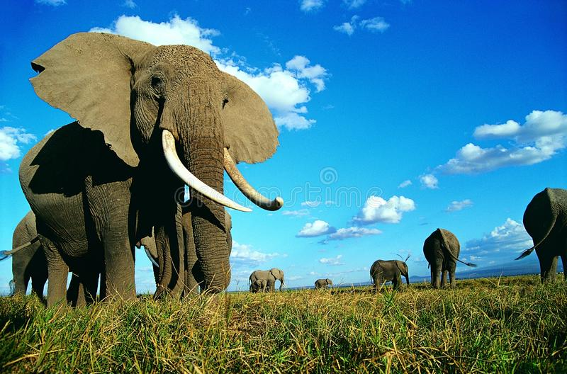 Download Elephant stock photo. Image of power, ivory, enormous - 10491814