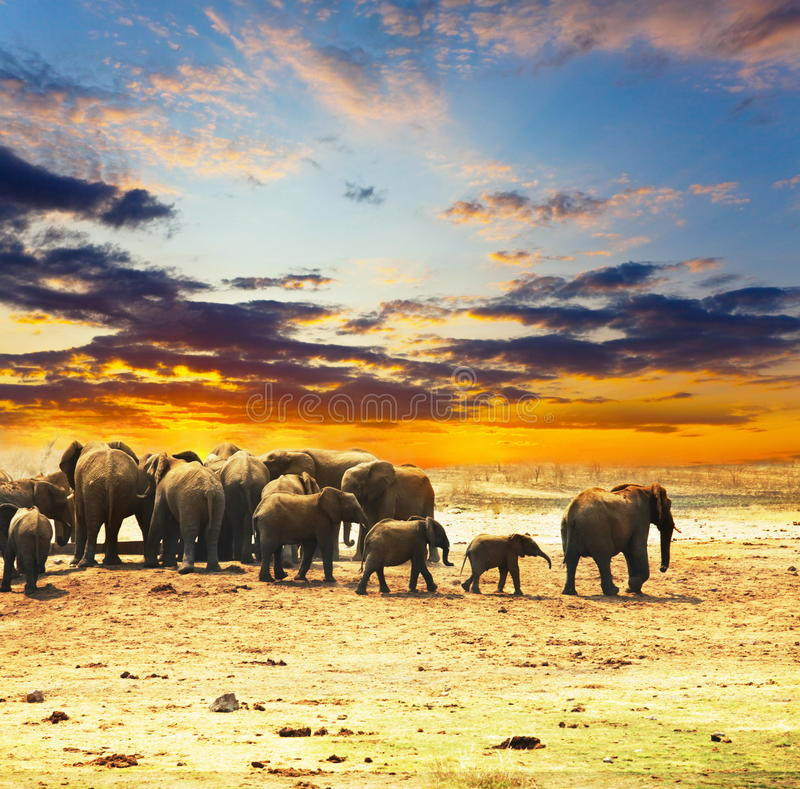 Download Elephant stock photo. Image of evening, africa, ears - 11374972
