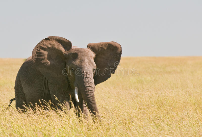 Elephant. A wild african elephant walking royalty free stock photography