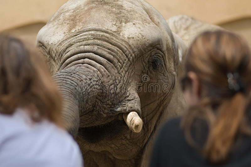 Download Elephant stock image. Image of dangerous, face, extended - 14156347