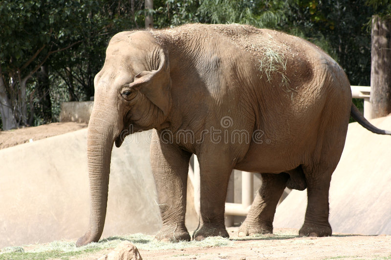 Download Elephant Royalty Free Stock Images - Image: 1423369