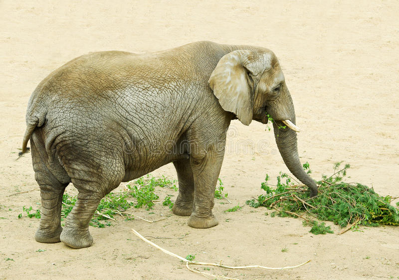 Download Elephant stock image. Image of wild, show, species, pine - 14857309