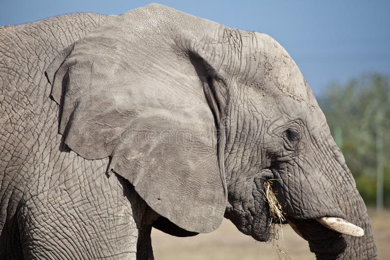 Download Elephant stock photo. Image of animal, africa, outdoor - 21079438
