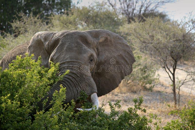 Download Elephant stock photo. Image of mammal, trunk, safari - 22937534