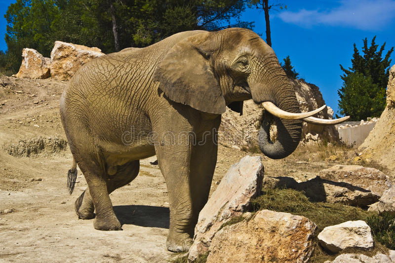 Elephant Royalty Free Stock Image