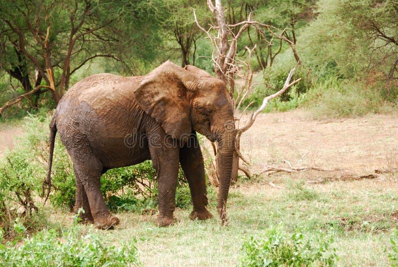 Download Elephant stock photo. Image of lake, safari, elephant - 25293806
