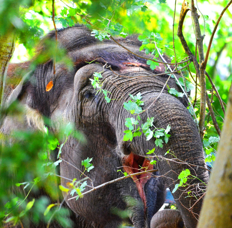 Download Elephant stock photo. Image of trunk, captivity, eating - 26383268