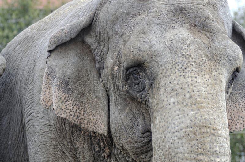 Download Elephant stock image. Image of huge, loxodonta, wrinkle - 27932329