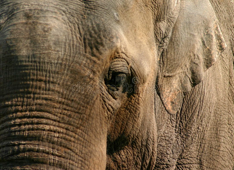 Elephant. Close up of an african elephant, with great detail in the skin stock images