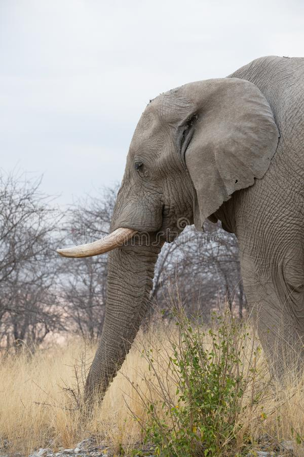 Elephant in africa royalty free stock photography