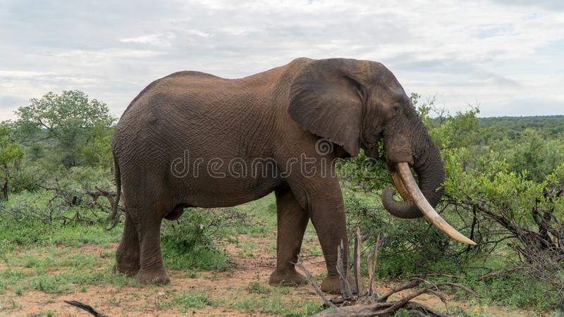 Elephant in the African bush stock photos
