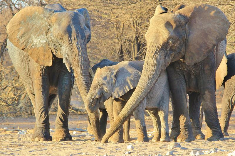 Elephant, African - Wildlife Background from Africa - Three Generations together stock photo