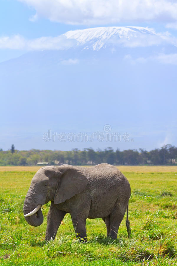 Elephant in Amboseli. Elephant in front of Kilimanjaro at the background shot at Amboseli national park, Kenya stock image
