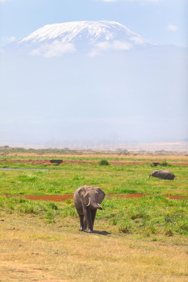 Elephant in Amboseli. Elephant in front, Kilimanjaro at the background shot at Amboseli national park, Kenya royalty free stock photography