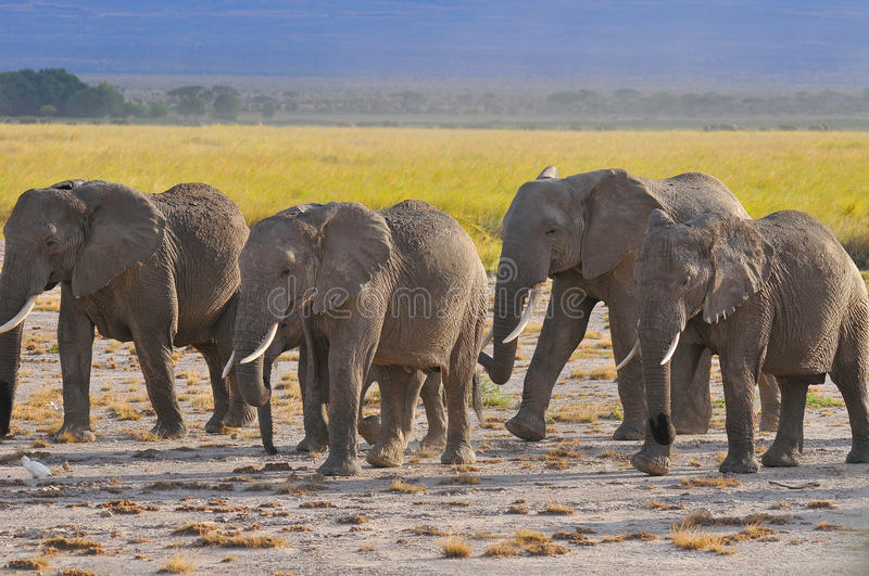 ELEPHANT. AT Amboseli National Park, formerly Maasai Amboseli Game Reserve, is in Kajiado District, Rift Valley Province in Kenya. The ecosystem that spreads stock photo
