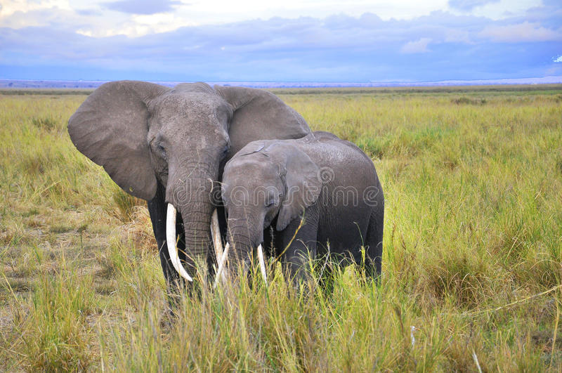 ELEPHANT. AT Amboseli National Park, formerly Maasai Amboseli Game Reserve, is in Kajiado District, Rift Valley Province in Kenya. The ecosystem that spreads royalty free stock photo