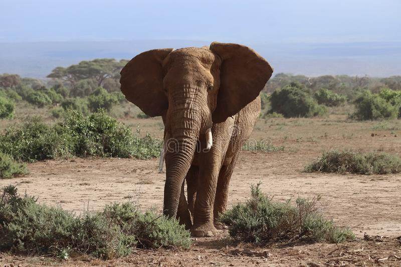Elephant in Amboseli. Photo of elephant in the Amboseli National Park under Kilimanjaro royalty free stock image
