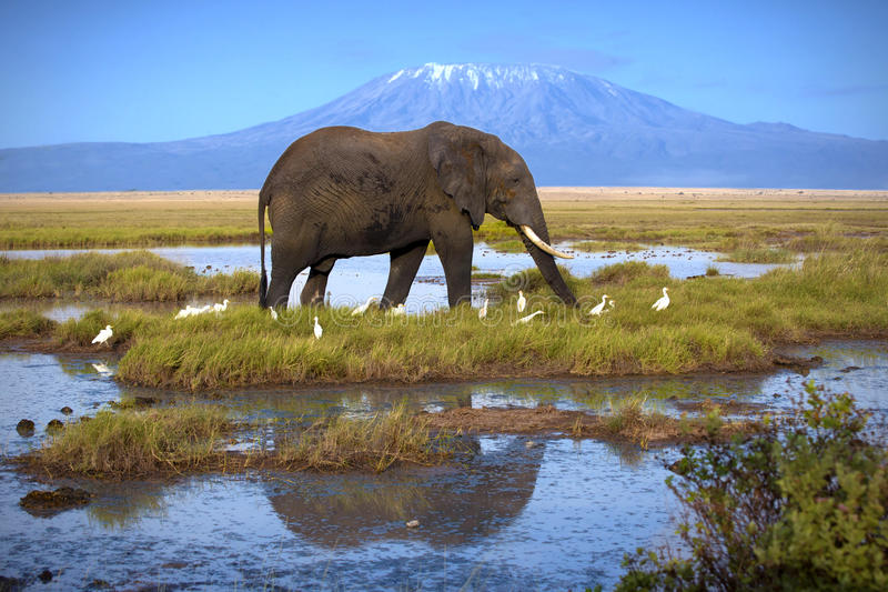 Elephant in Amboseli. Elephant at the pool on the background of Kilimanjaro royalty free stock photography