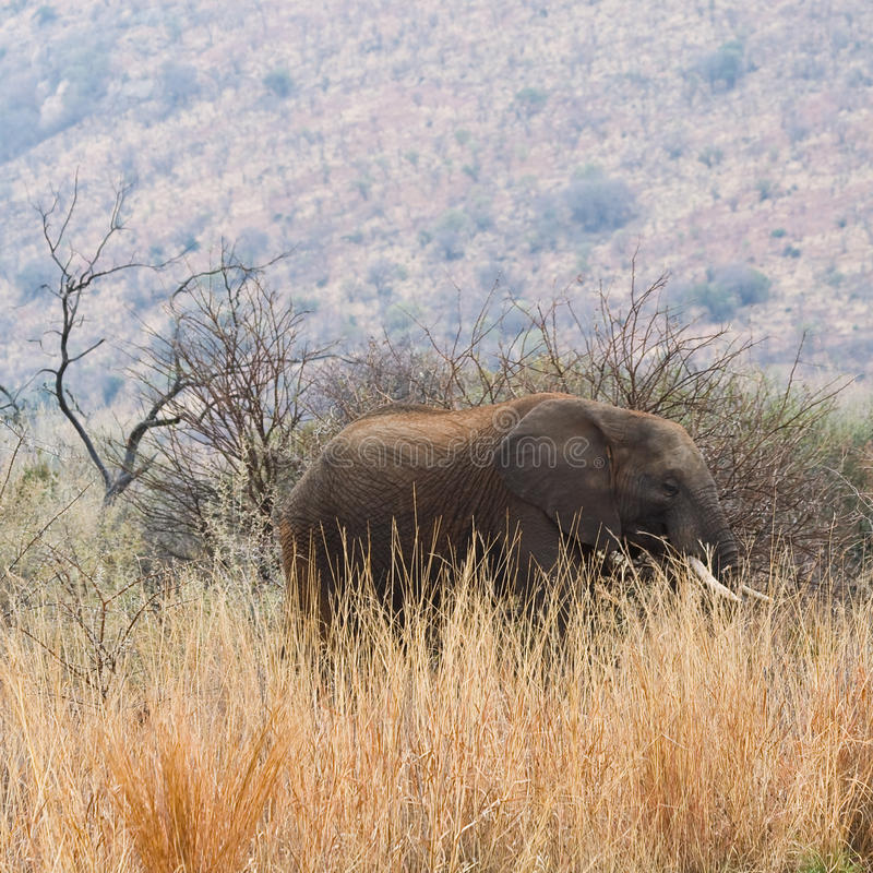 Download Elephant Amongst The Long Grass. Royalty Free Stock Photography - Image: 26594527