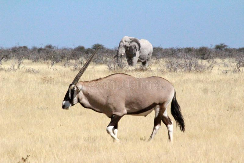 The elephant and the Antelope royalty free stock image