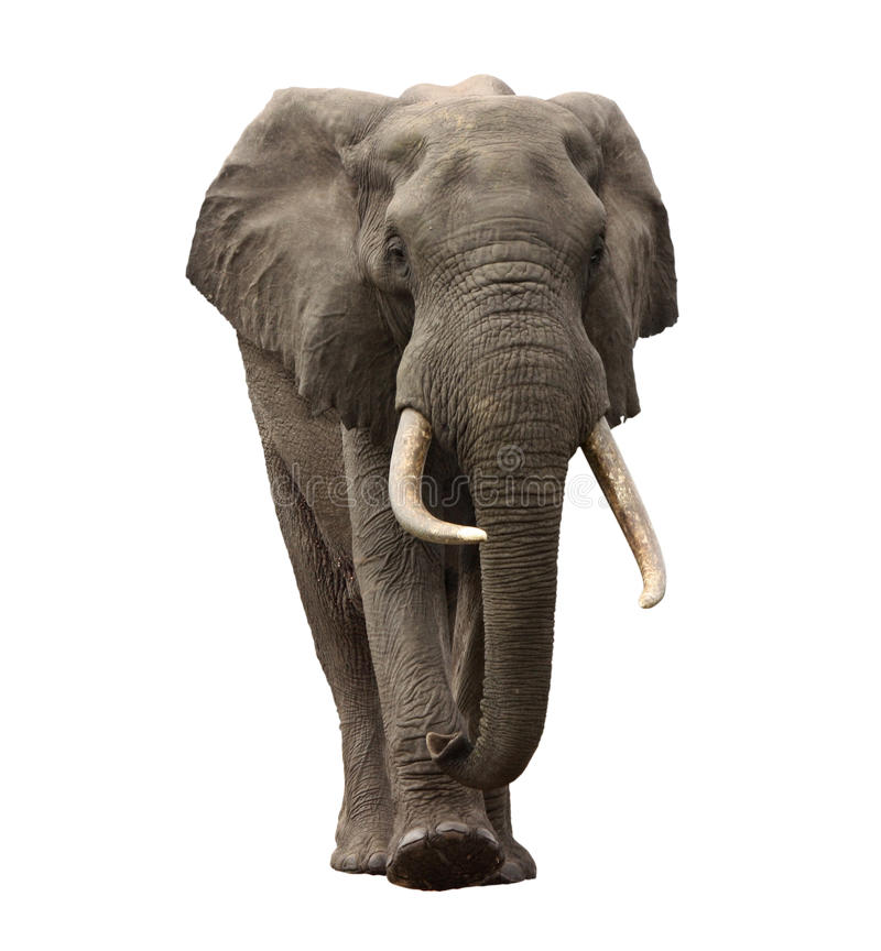 Download Elephant Approaching Isolated Stock Images - Image: 18200044