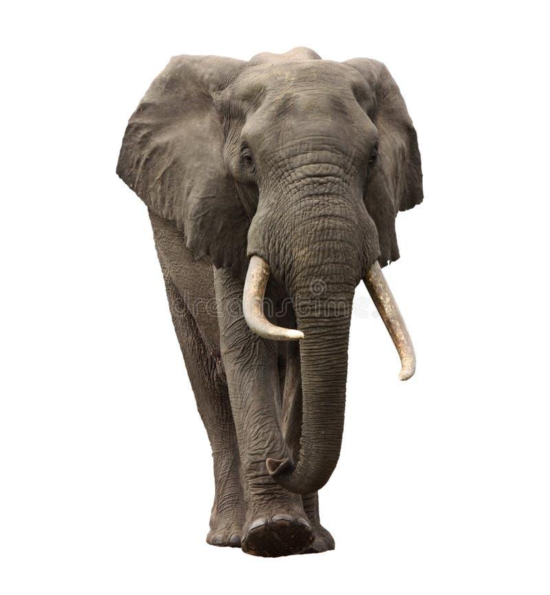 Free Elephant Approaching Isolated Stock Images - 18200044