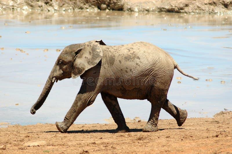Elephant baby royalty free stock photos