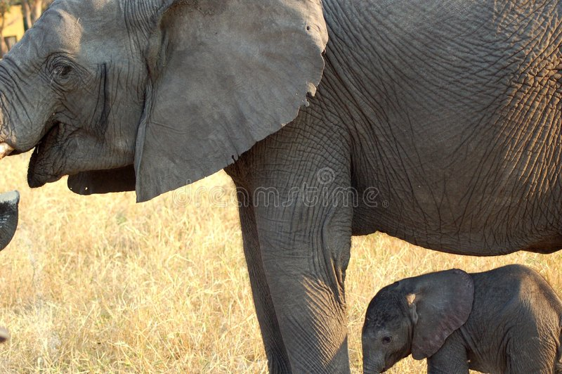 Download Elephant and baby stock image. Image of newborn, zambia - 2317787