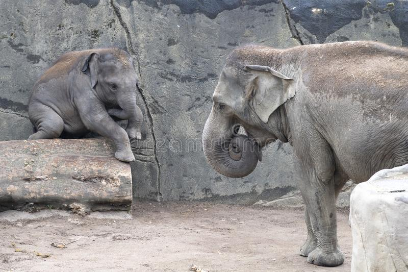 Elephant baby in danger by balancing over trunk. Zoo Cologne, Germany royalty free stock image