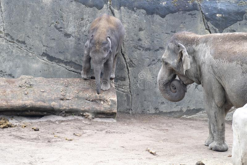 Elephant baby in danger by balancing over trunk. Zoo Cologne, Germany royalty free stock photo